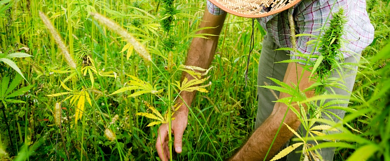 istock cannabis farmer-1-1